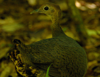 0259-Great-tinamou-Tinamus-major2